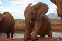 Muddy Young Elephants (6)