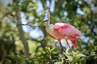 Roseate Spoonbill building a Nest
