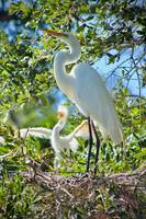 Great Egret ready to Fly