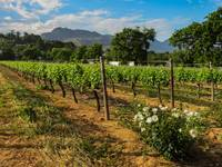 Cape Town Vineyard