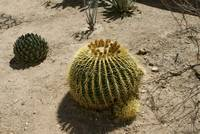 Yellow Barrel Cactus DSC00817