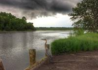 Great Blue Heron watching the storm