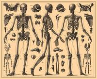 Vintage Human Skeleton Anatomy Diagram (1907)