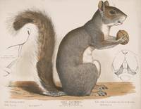 Vintage Illustration of a Grey Squirrel