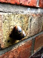Wall Dwelling Snail