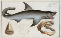 Vintage Illustration of a Great White Shark (1785)