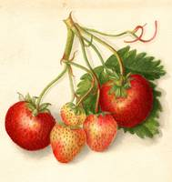 Vintage Illustration of Strawberries