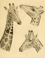 Vintage Illustration of a Giraffe (1908)
