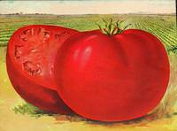 Vintage Illustration of a Beefsteak Tomato (1905)