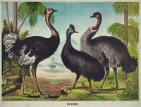 Vintage Illustration of Ostriches (1874)