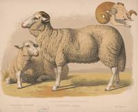 Vintage Domestic Sheep Illustration (1874)