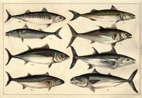 Vintage Illustration of Tunas, Mackerels & Bonitas