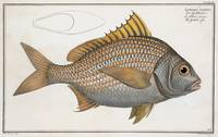 Vintage Illustration of an Yellow-Fin Grunt (1785)