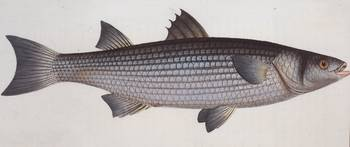 Vintage Illustration of an Atlantic Mullet (1785)