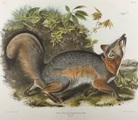 Vintage Illustration of a Grey Fox (1843)