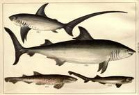 Vintage Shark Illustrative Diagram (1901)