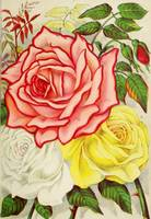 Vintage Multi Colored Rose Illustration (1886)