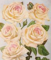 Vintage White Rose Painting (1920)