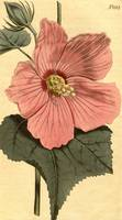 Vintage Illustration of a Hibiscus Flower (1806)