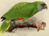 Vintage Illustration of a Green Parrot (1901)