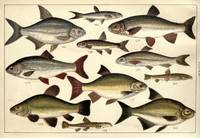 Vintage Illustration of Various Fishes (1902)