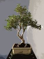 Leafy Japanese Bonsai Tree