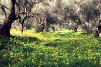Greece Crete Olive grove