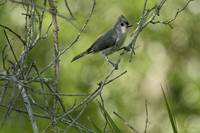 Titmouse in the Brush