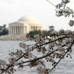 """Jefferson Memorial and cherry blossoms photo"" by dcphoto"