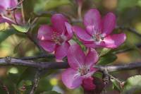 Branch of Blooming Pink Apple Tree with Flowers in
