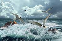Terns In The Surf