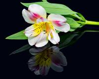 Alstroemeria Reflection