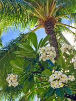 Frangipani and Coconut Palm