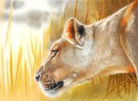 The African Queen lioness