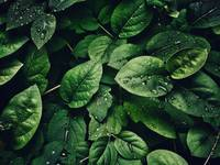 Deep Green Leaves Covered in Water Droplets