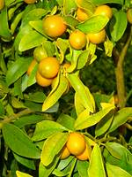 Winter Fruits
