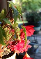 Scarlet Begonia Falling Leaves and Blooms