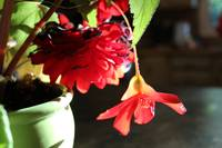 Scarlet Begonia Light Closeup