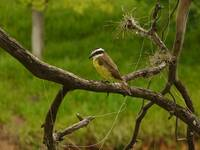 Kiskadee the Greatest