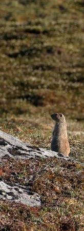 Mountain Marmot II