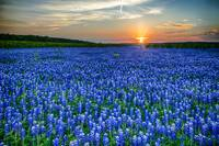 HeavenlyTexas Blue Bonnets
