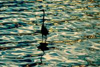 Water Bird Series 19