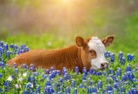 Sweet Baby in the Bluebonnets