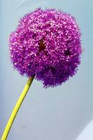 Allium blossom in watercolor