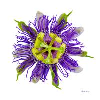 Yellow Green and Violet Passion Flower 59674A