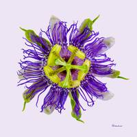 Yellow Green And Violet Passion Flower 50674v