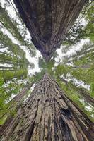 Looking up 2 Redwood trees