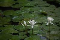 Three White Lily in the Pond