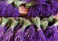 Provence Lavender Bunches