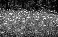 Buttercups in Black and White